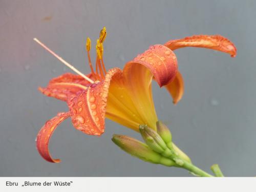 Blume der Wüste